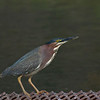 Green Heron in Cornville, AZ April 2011