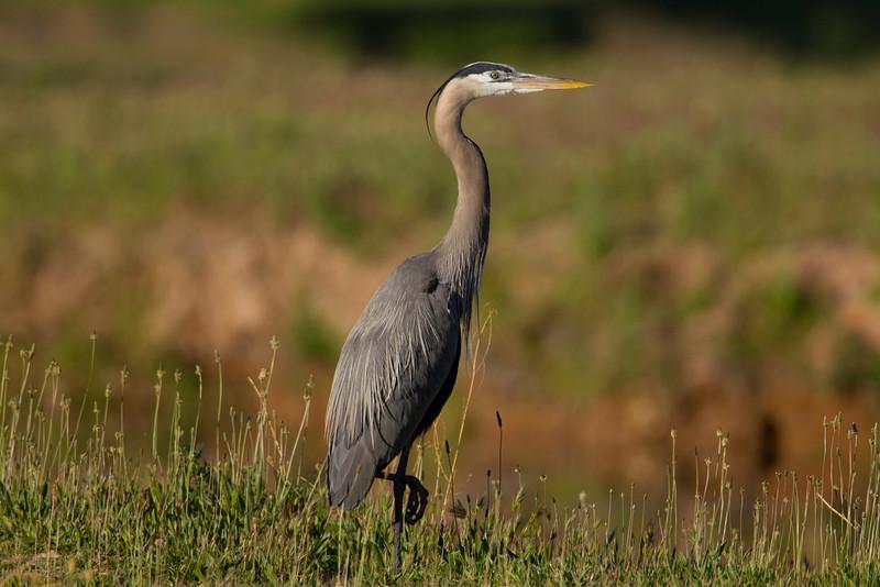 Great Blue Heron in Cornville, AZ. April 2011
