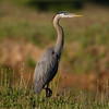 Great Blue Heron in Cornville, AZ. April 2011