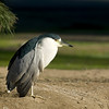Black-crowned Night Heron in southern California. Jan 2007