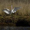Great white Egret in slough along highway 101 in northern Oregon. Oct 25, 2012