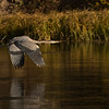 Great Blue Heron Flying