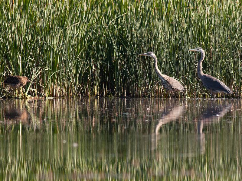Herons (Crowned Night Heron on left) and Great Blue Herons on right in Lower Red Rock Lake, Red Rock Lakes National Wildlife Refuge, Montana. Aug 4, 2010.