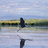Great Blue Heron launching off of Lower Red Rock Lake in Red Rock Lakes National Wildlife Refuge. Sep 3, 2010.