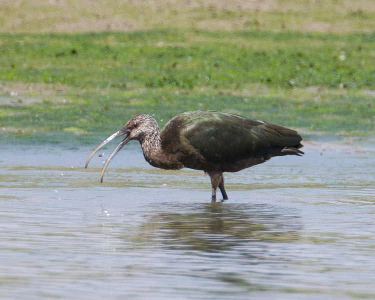 A young white-faced Ibis is wading in the lagoons around Island Park Reservoir in Idaho looking for insects to eat. Aug 11, 2012