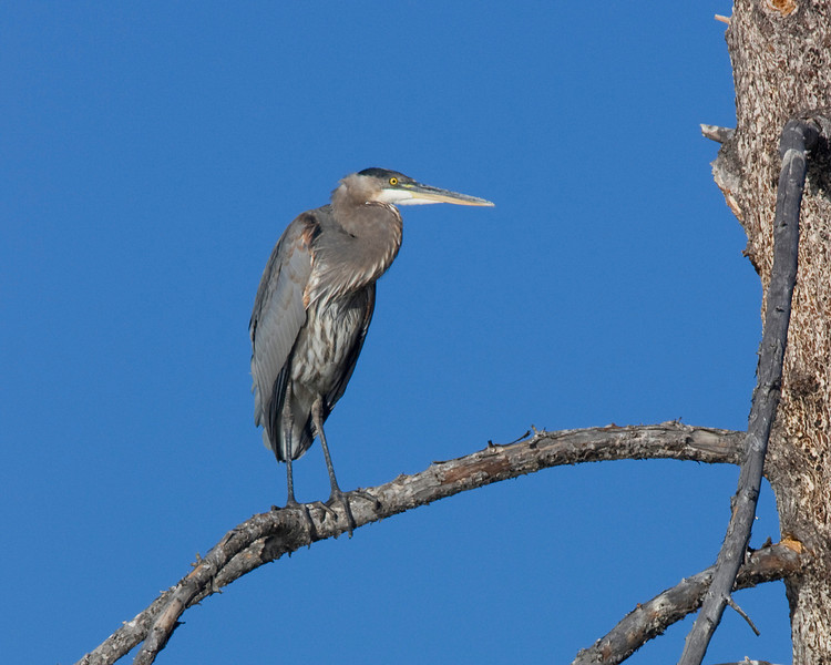 Great Blue Heron sitting in a tree along the Madison River in Yellowstone National Park, Wyoming. Sep 15, 2008.