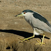 Black-crowned Night Heron along a canal at Wilderness Lakes RV Park, near Menifee, CA Jan 2007