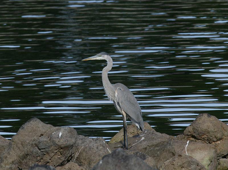 Great Blue Heron, Island Park Reservoir, August 2006