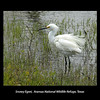 Snowy Egret at Aransas national Wildlife Refuge, Texas. April 2007