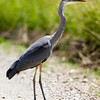 Great Blue Heron crossing South Valley Road in Red Rock Lakes Nat'l Wildlife Refuge. Aug 2011.