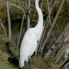 Great Egret at Wilderness Lakes RV Park, Menifee, CA Jan 2008. He has green on his bill, presumably from the moss in the canals here.