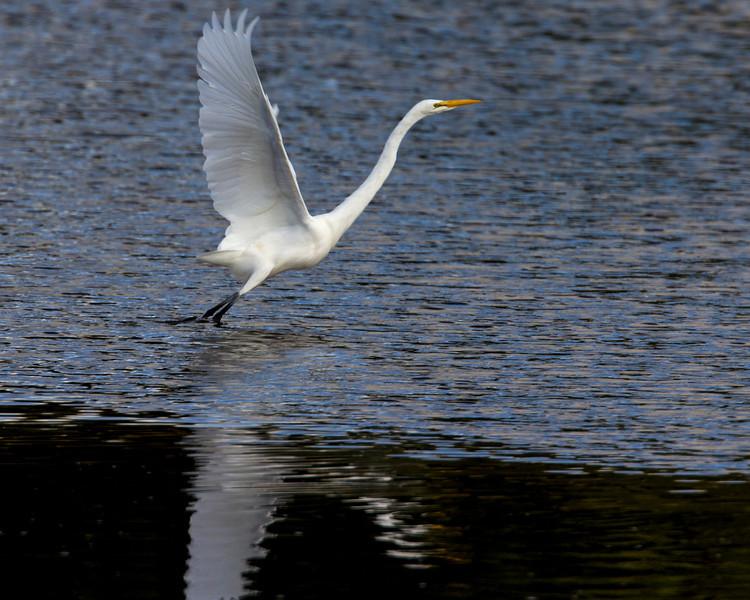 Great Egret at Whalen Island Slough. North Oregon Coast. Oct 25, 2012
