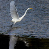 Great Egret at Whalen Island Slough. North Oregon Coast. Oct 25, 2012