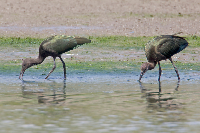 These two white-faced Ibis are foraging for food in the mud around Island Park Reservoir in Idaho. Aug 11, 2012