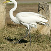 Great Egret walking. Jan 2008