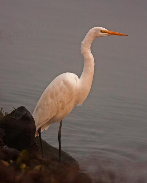 Great White Egret along River near Isleton, CA Nov 23, 2012