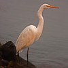 Great White Egret along River near Isleton, CA Nov 23, 2012