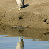 Black-crowned Night Heron and his refection in the canal at Wilderness Lakes RV Park in Menifee, CA. Jan 2007