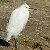 Cattle Egret at Wilderness Lakes RV Park, Menifee, CA Jan 2008