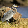 Great Blue Heron at Whalen Island Slough. North Oregon Coast. Oct 25, 2012