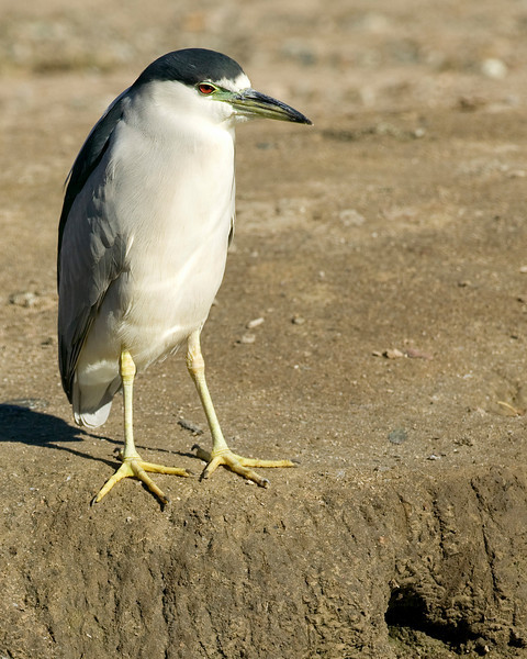 Black-crowned Night Heron watching for fish in the canal at the Wilderness Lakes RV park in Menifee, CA Jan 2007
