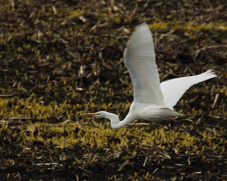 Great white Egret flying.