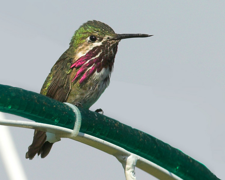 Calliope Hummingbird, the smallest in the USA. Island Park ID July 22, 2007