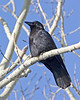 Raven in aspen along Red Rock Road in Island Park, Idaho. May 2009