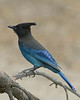 Stellar Jay, Silent Valley Club, in San Jacinto Mtns, Jan 2009