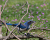 Scrub Jay at Silent Valley Club in San Jacinto Mountains. March 17, 2013.