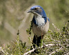 Western Scrub Jay (Aphelocoma californica) in San Jacinto Mtns, CA. March 2008