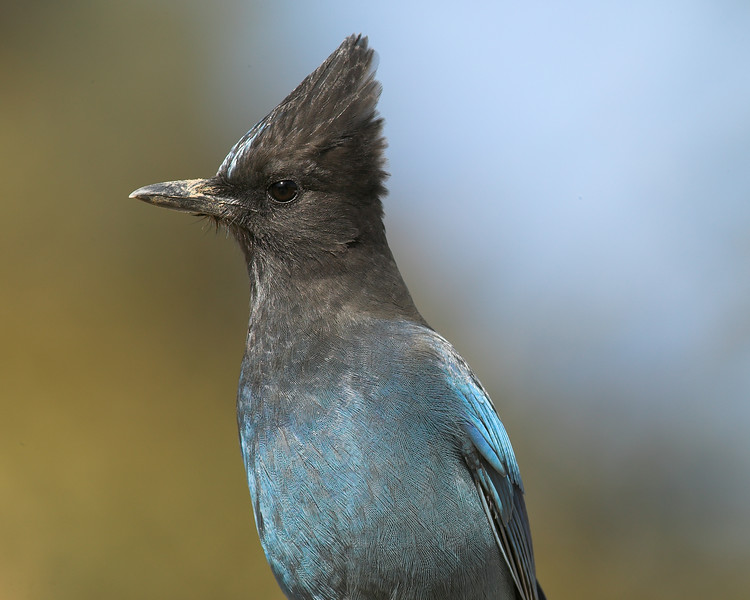 Portrait of a Stellar's Jay bird, near Russian River, Cloverdale, CA September 2006