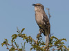 Northern Mockingbird in Yuma, AZ