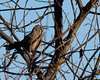 California Thrasher (Toxostoma redivivum) is a secretive bird. This is not my ideal photo, but it's all I have so far. In trees, singing to a potential mate in the San Benito Thousand Trails Park, Sep 25, 2012.