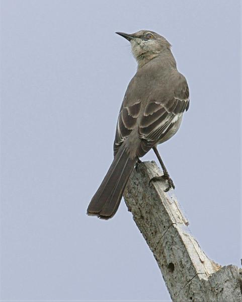 Northern Mockingbird in Bentsen Rio Grande Valley State Park, April 5, 2007.