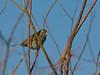 Savannah Sparrow (JUV) Red Rock Lakes National Wildlife Refuge July 7, 2010