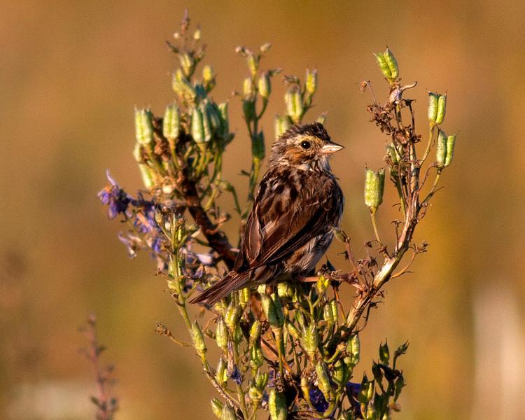 Savannah Sparrow along Red Rock Road in Island Park, Idaho. July 29, 2012