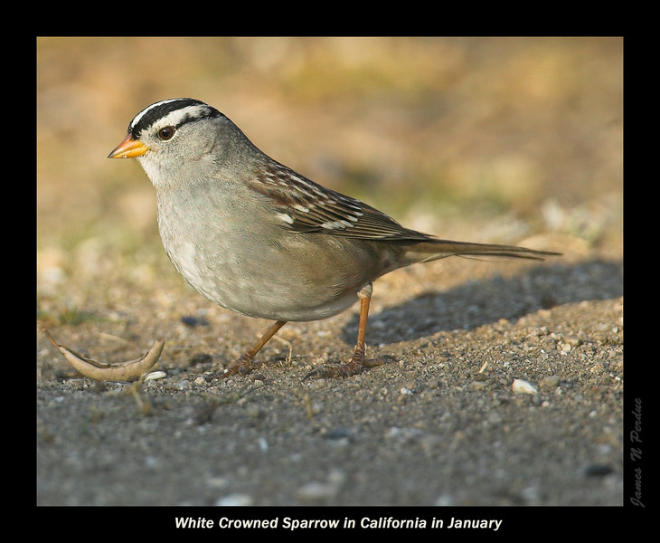 White-Crowned Sparrow in Silent Valley RV Park, San Jacinto Mtns, above Banning, California in early January 2007.