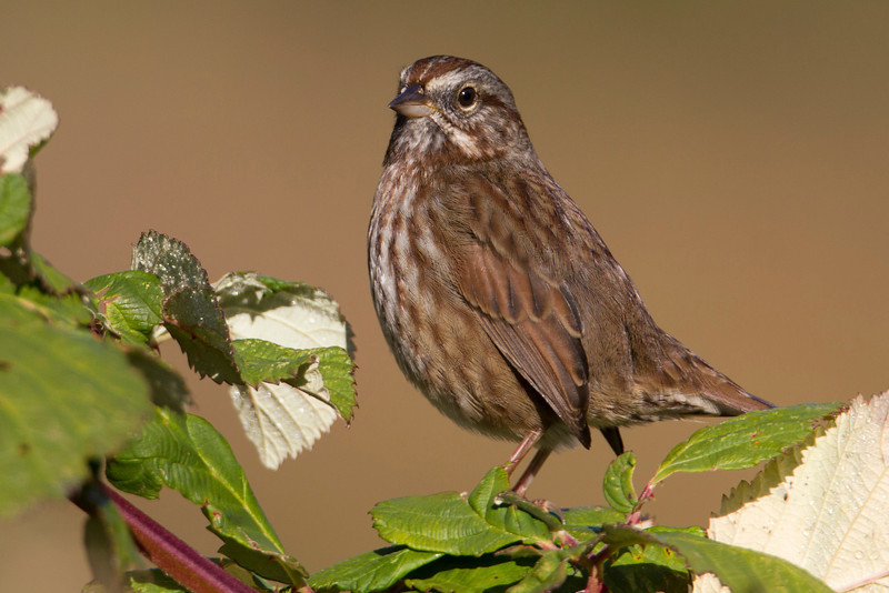 Song Sparrow in Nestucca Bay National Wildlife Refuge, Oct 25, 2012.