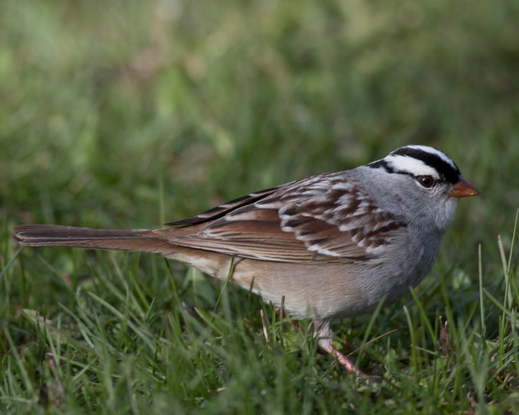 White-crowned Sparrow (Zonotrichia leucophrys) at Redrock RV Park in Island Park, Idaho. May 8, 2012