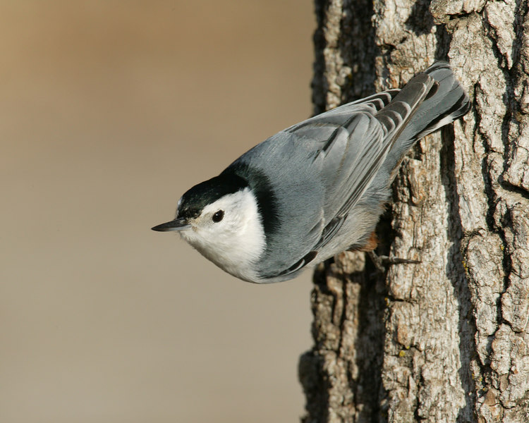 Nuthatch. Silent Valley RV Park, 3500' in San Jacinto mountains of southern California, Dec 15, 2006