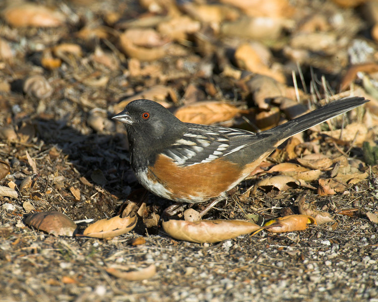 Spotted Towhee in Silent Valley RV Park, San Jacinto Mtns in southern California, Jan 2007.
