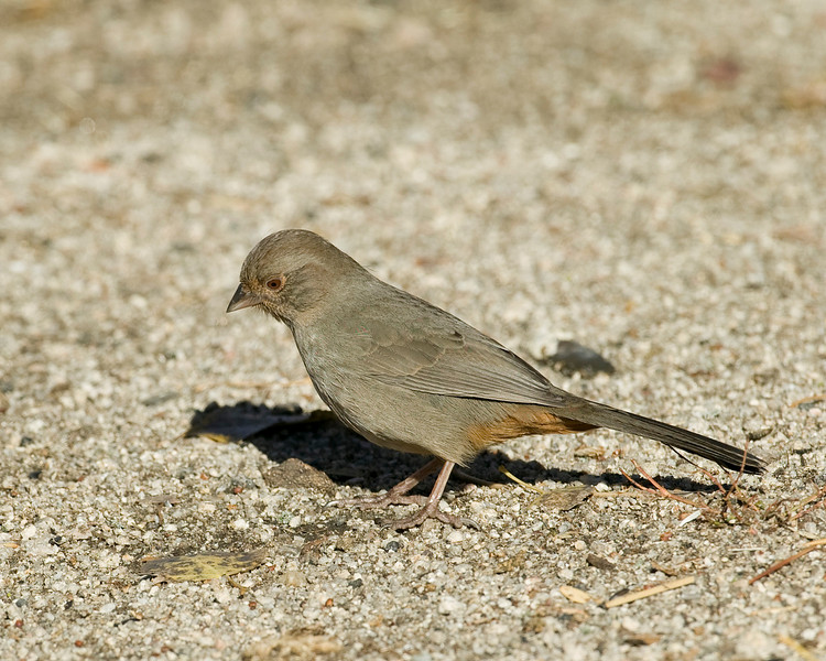 California Towhee in Silent Valley RV Club, in San Jacinto Mountains. Dec 2007