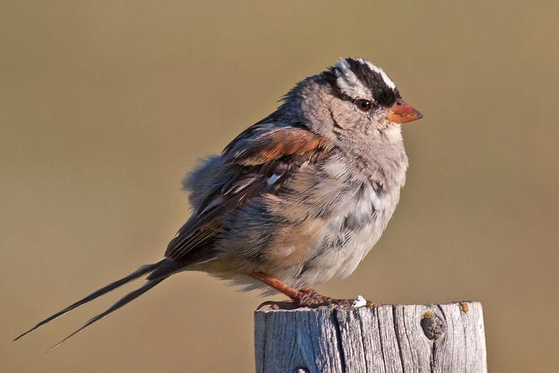 White-crowned Sparrow along Red Rock Road in Island Park, Idaho July 28, 2012.