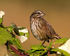 Song Sparrow (Melospiza melodia) in Nestucca Bay National Wildlife Refuge, Oct 25, 2012.