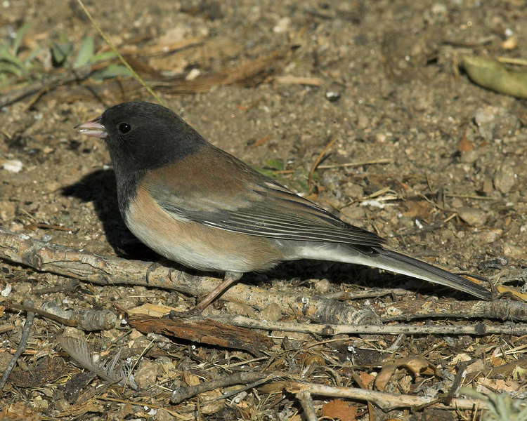 "Dark-eyed Male Junco (""Oregon"") in San Jacinto Mtns, California. Nov 2006"