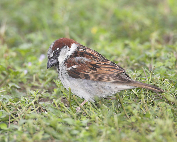 Old-World House Sparrow at Mission West RV Park in Mission Texas. April 6, 2007.
