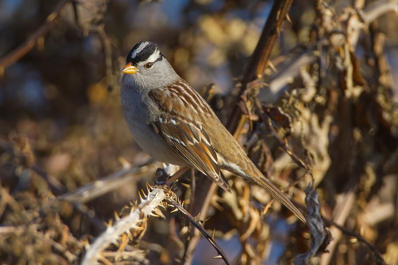 White-crowned Sparrow, Isleton, CA