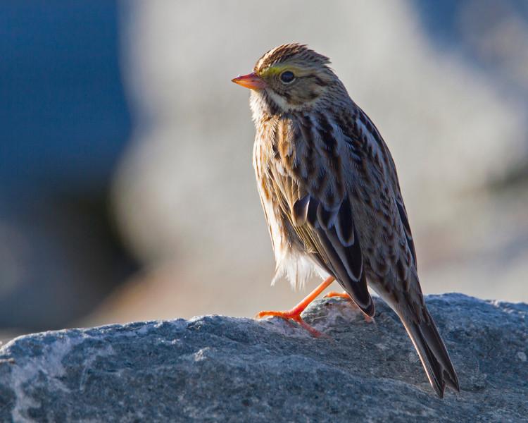 Savannah Sparrow, Silent Valley Club, January 2013