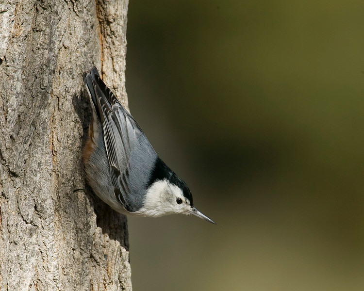 Nuthatch in Silent Valley RV Club in late January, 2008.